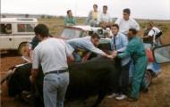 Foto del encierro a caballo de Mayorga en 1997