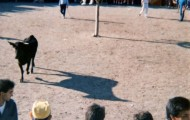 Vacas en la plaza de toros Mayorga 1990